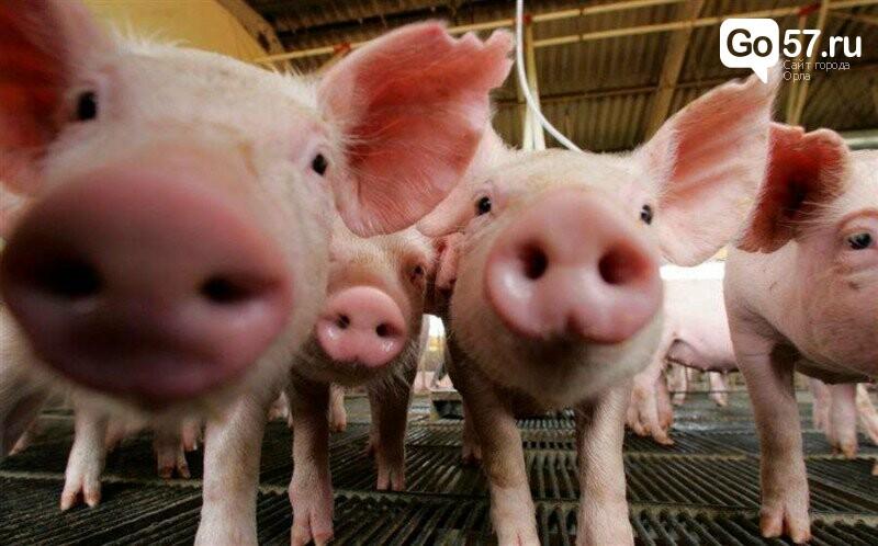 Угроза распространения инфекции: в Орловской области закрыли свиноферму, фото-1